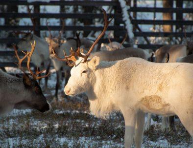 White_reindeer_at_Reindeer_Farm_Porohaka_Rovaniemi